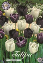 Tulipa Black Jack