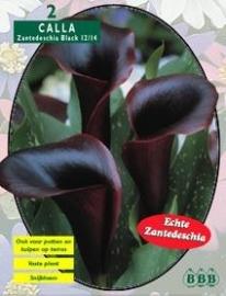 Calla Zanthedeschia Black