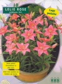Lilium Pink