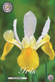 Iris Hollandica Yellow/White