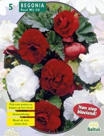 Begonia Rood en Wit