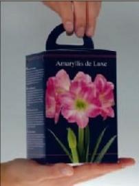 Amaryllis Rose vierkante doos