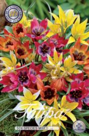 Tulipa Specie mix