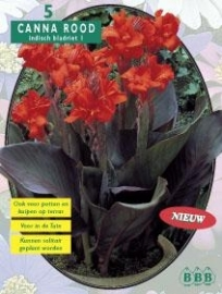 Canna Darkleaves Red