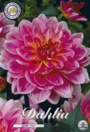 Dahlia Decoratief Gerry Hoek