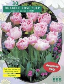 Tulipa Dubbel Laat Upstar