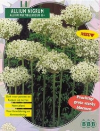 Allium Nigrum Multibubosum
