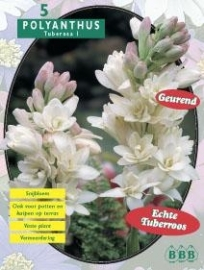 Polyanthus Tuberosa