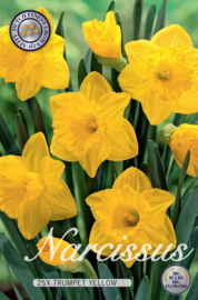 Narcis Trumpet Yellow