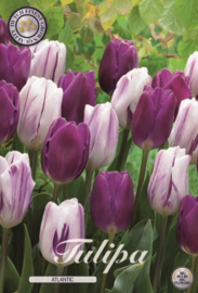 Tulipa Atlantic