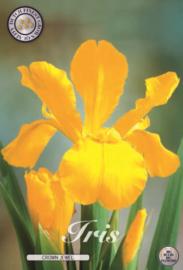 Iris Hollandica Crown Jewel