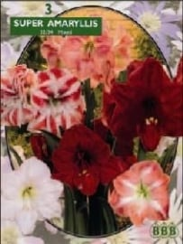 Amaryllis Hypeastrum, Mix