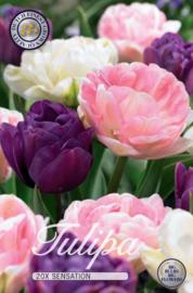 Tulipa Sensation