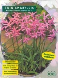 Nerine Bowdenii, Roze