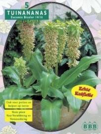 Eucomis Bicolor Ananasplant