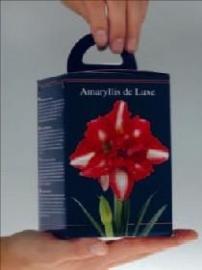 Amaryllis Dubbel Gestreept vierkante doos