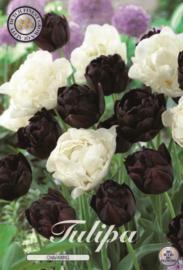 Tulipa Charming