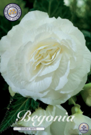 Begonia Doubleflowered White