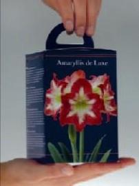 Amaryllis Gestreept vierkante doos