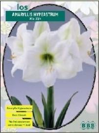 Amaryllis Hippeastrum Weiss