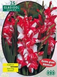 Gladiolus Zizanie