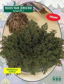Rose from Jericho Selaginella