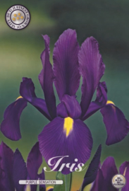 Iris Hollandica Purple Sensation