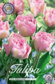 Tulipa Dubbel Laat Angelique