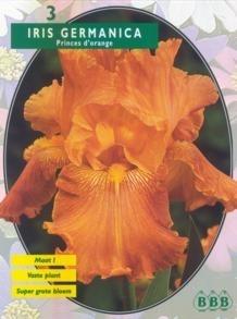 Iris Germanica, Oranje