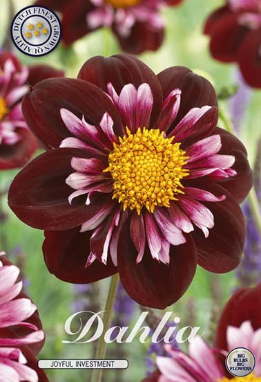 Dahlia Joyfull Investment