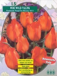 Mini Wildtulp Wedenski Tangerine Beauty