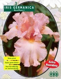 Iris Germanica Pink