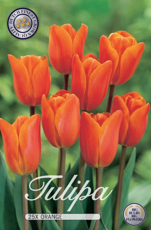 Tulipa Triumph Orange