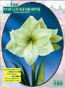 Amaryllis Lemon Star Kleinbloemig