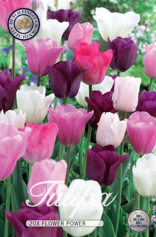 Tulipa Flower Power