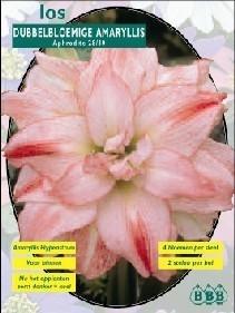 Amaryllis Aphrodite, dubbelbloemig