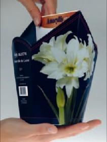 Amaryllis Dubbel Wit zeskantige doos