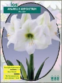 Amaryllis Hypeastrum, Wit