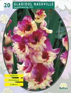 Gladiolus Nashville