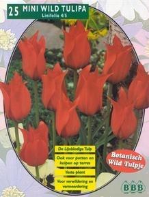 Mini Wildtulp Linifolia