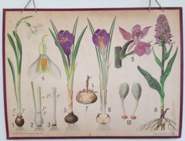 Botanische Schoolkaart op karton  Warming / Balslev  nr 17.