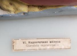 Oud medisch anatomisch model van de Bijnier.