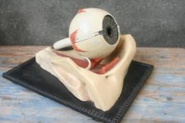 Oud Gipsen Anatomisch Model van het Oog.