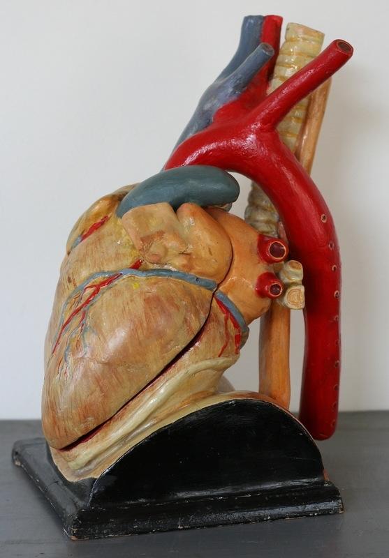 Medisch anatomisch model van het hart.