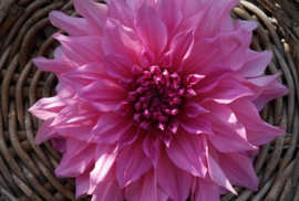 Dahlia Cafe Au Lait Rose