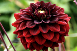Dahlia Black Diamond