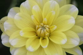 Dahlia Yellow Perception