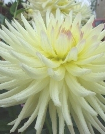 Dahlia Shooting Star
