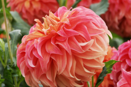 Dahlia Wyn`s Moonlight Sonata