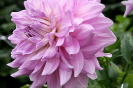 Dahlia Almand`s Joy